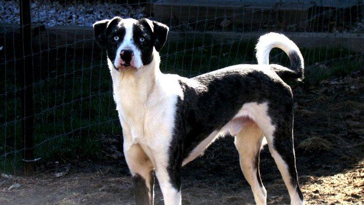 Blue eyed dog breeds - photo#15