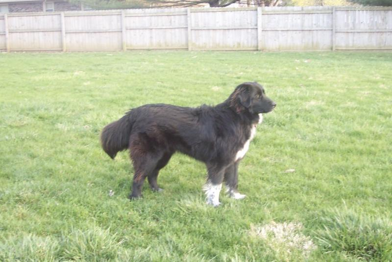 Great Pyrenees Border Collie Cross | Dog Breeds Picture