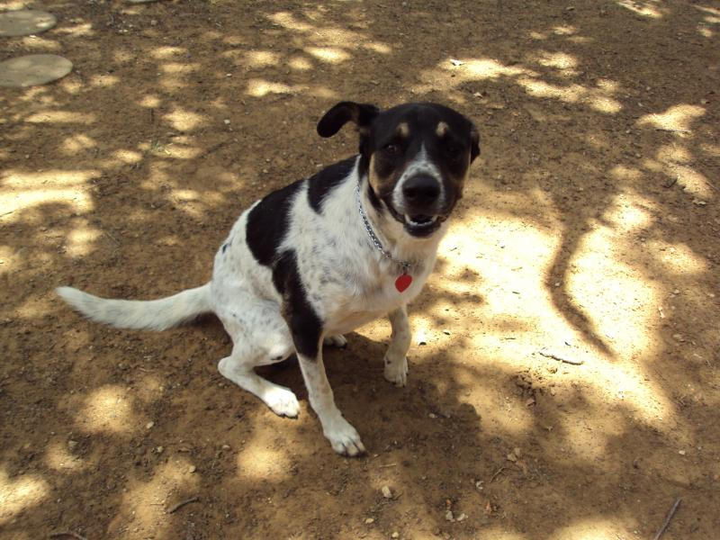attachments/7207d1341340904-my-dog-blue-heeler-help-input-dsc04525.jpg