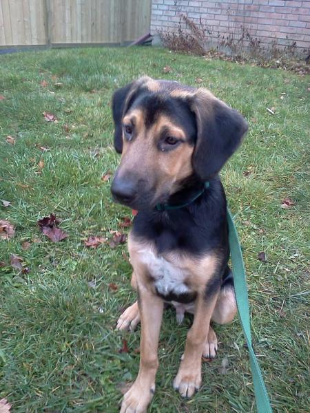Black and Tan Coonhound MIXED WITH WHAT?! :O