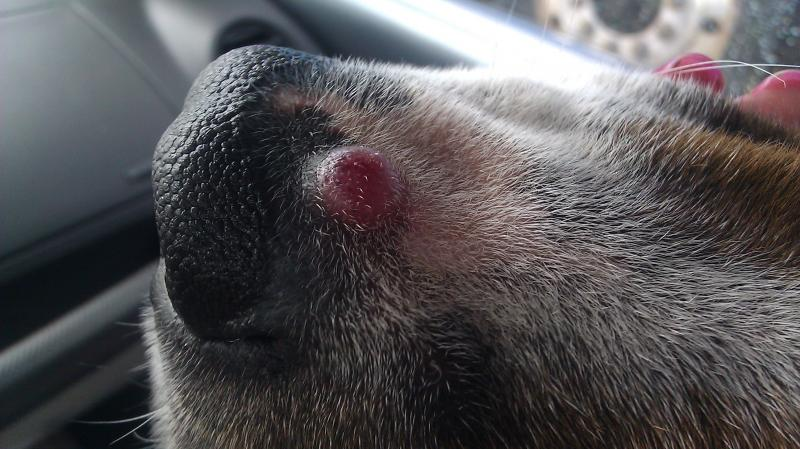 pink red bump on mollys nose help odd bump on