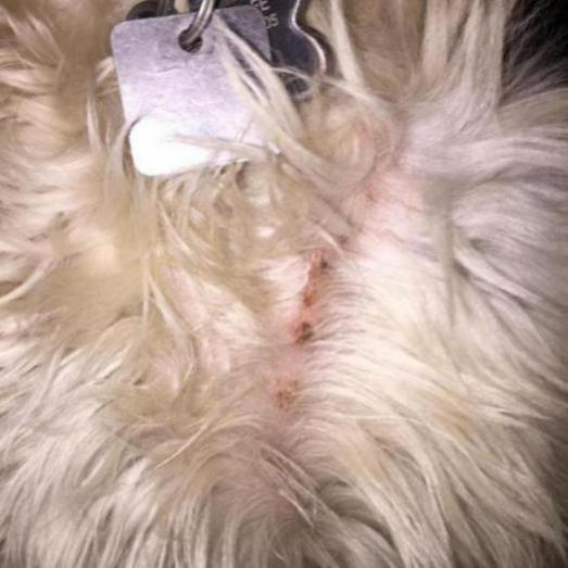 small scabs on dog