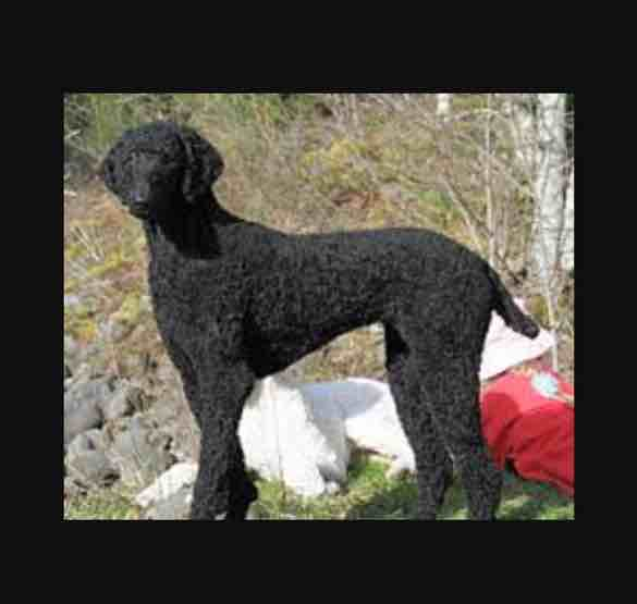Golden retriever and standard poodle