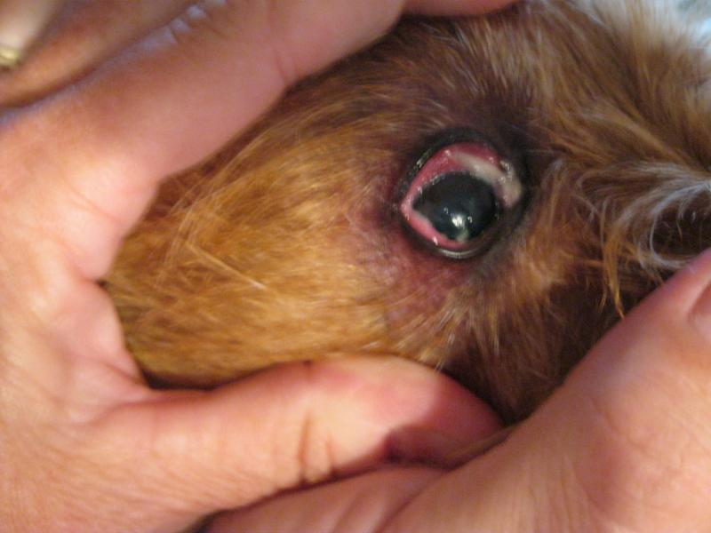 What Can I Do For My Dogs Scratched Eye