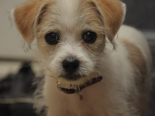 Wire Haired Terrier Chihuahua Mix Agcrewall