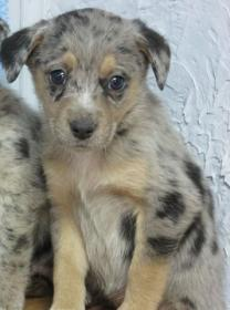 Australian Shepherd Catahoula Mix Puppy Help