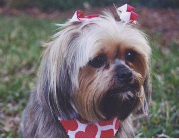 Pictures of Shorkie Haircuts http://www.dogforum.com/dog-breeds/what-breed-shih-tzu-shi-tzu-23572/