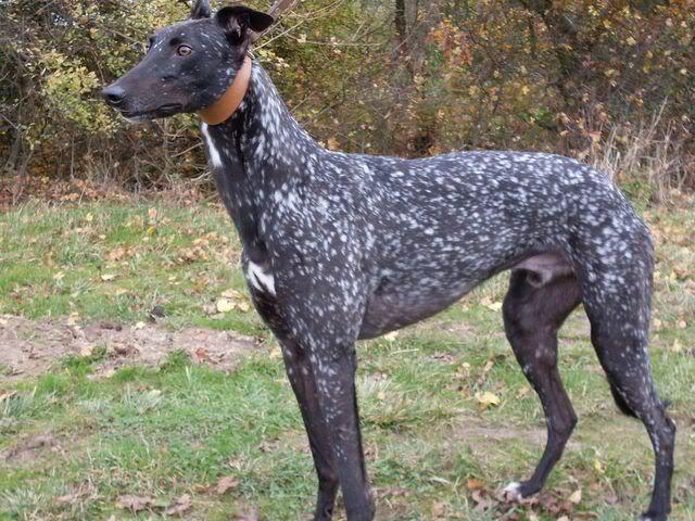 Génétique des robes et couleurs chez le chien - Page 2 61658d1386823780-intersting-dog-coat-colors-markings-breeds-tumblr_mx94vxtd0f1sxxql3o4_1280