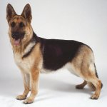german-shepherd-dog.jpg